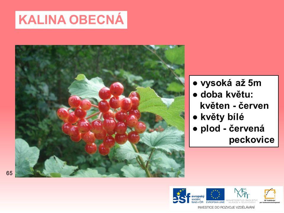 KALINA OBECNÁ ● vysoká až 5m ● doba květu: květen - červen ● květy bílé ● plod - červená peckovice 65