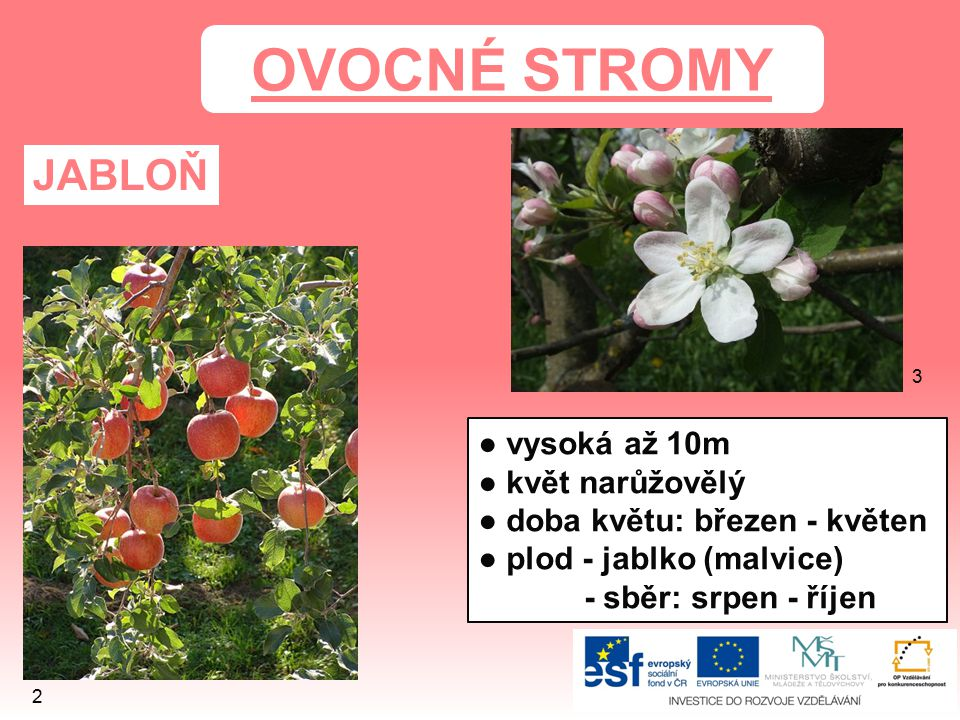 HRUŠEŇ OBECNÁ ● vysoká až 20m ● květ bílý doba květu: březen - květen ● plod - hruška (malvice) - sběr: srpen - říjen 5 4