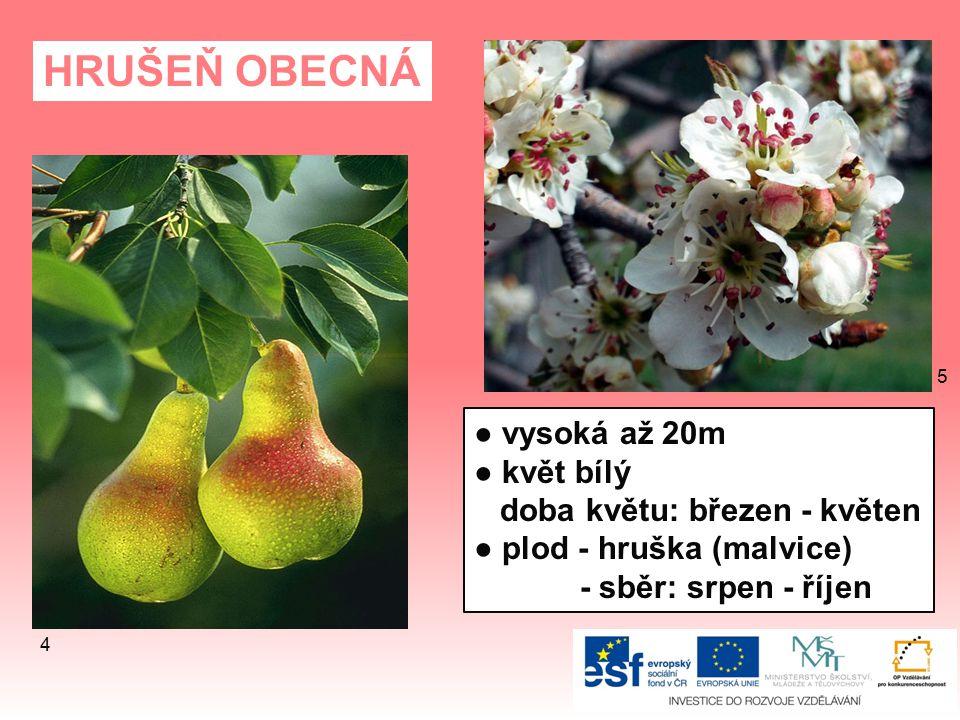 JAVOR KLEN ● vysoký až 40m ● dožívá se 300 - 400 let ● doba květu: květen ● květy nevýrazné, zelené 31 30
