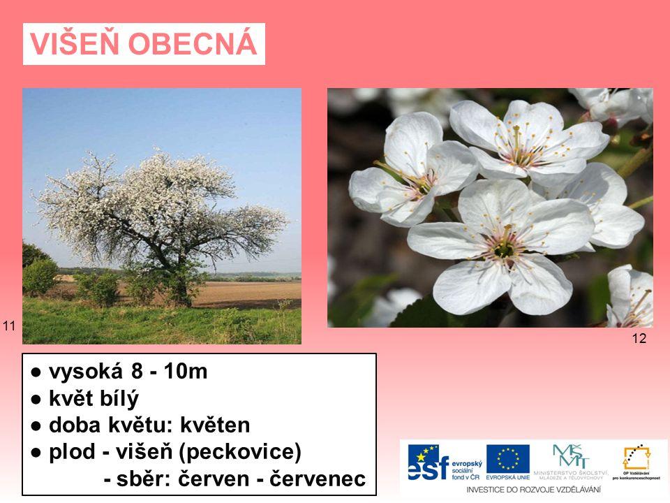TŘEŠEŇ PTAČÍ ● vysoká až 30m ● květy bílé, růžové ● doba květu: duben - květen ● plod - třešeň (peckovice) - sběr: květen - červenec 15 14 13