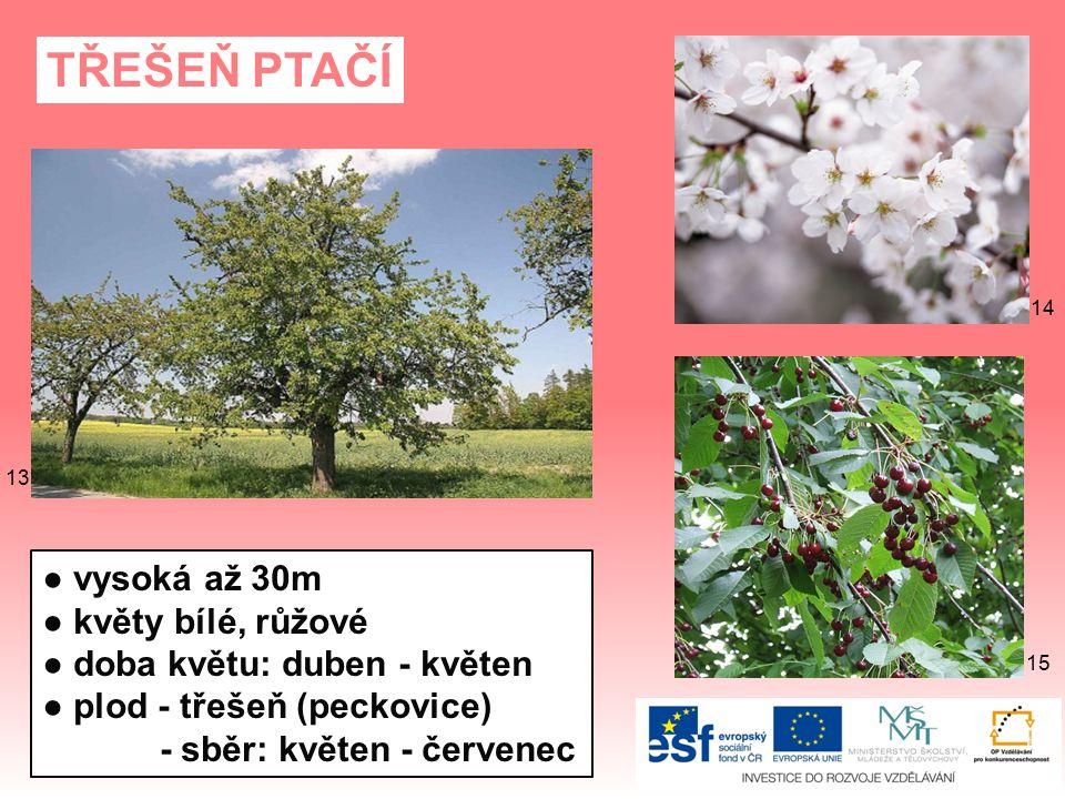 SVÍDA BÍLÁ ● vysoká až 3m ● doba květu: květen - červen ● květy bílé ● plod - namodralé/bělavé peckovice 6261