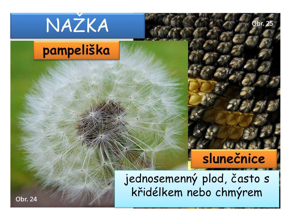 NAŽKA pampeliška jednosemenný plod, často s křidélkem nebo chmýrem slunečnice Obr. 24 Obr. 25