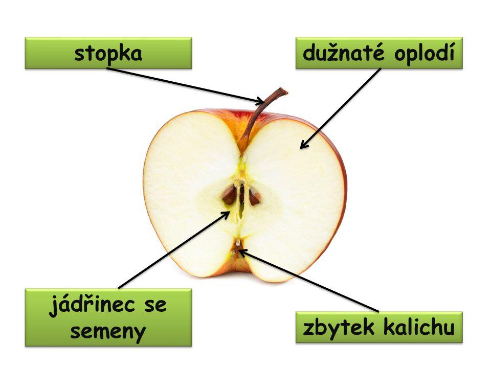 stopka dužnaté oplodí zbytek kalichu jádřinec se semeny