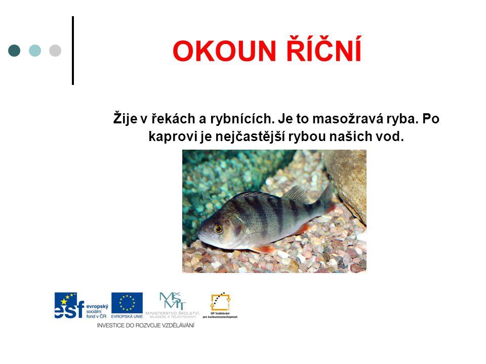 OKOUN ŘÍČNÍ Žije v řekách a rybnících. Je to masožravá ryba. Po kaprovi je nejčastější rybou našich vod.