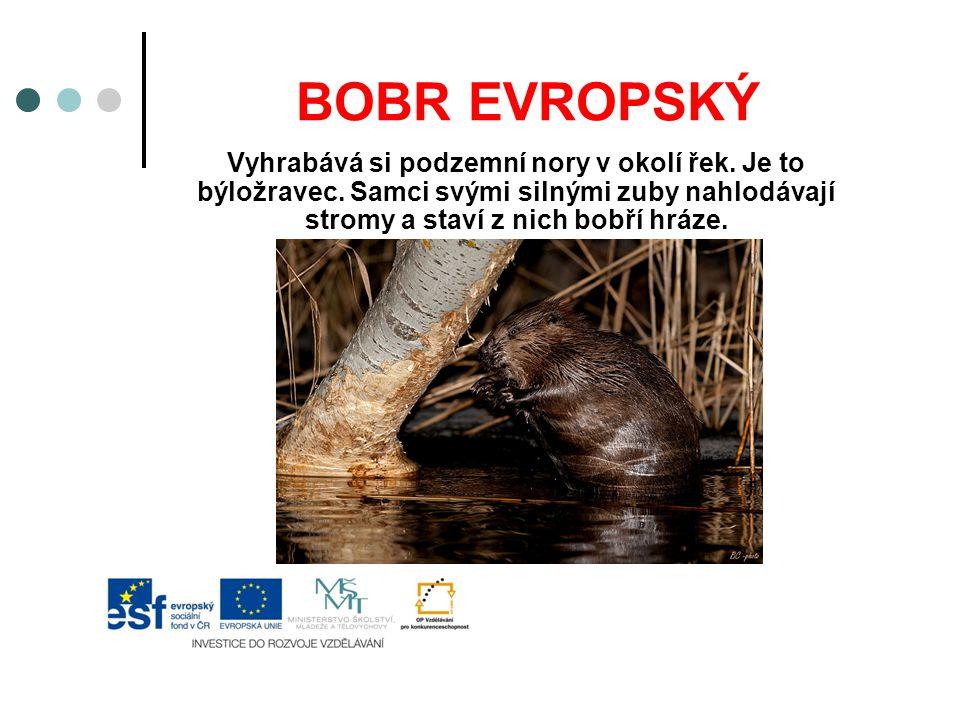 BOBR EVROPSKÝ Vyhrabává si podzemní nory v okolí řek. Je to býložravec. Samci svými silnými zuby nahlodávají stromy a staví z nich bobří hráze.