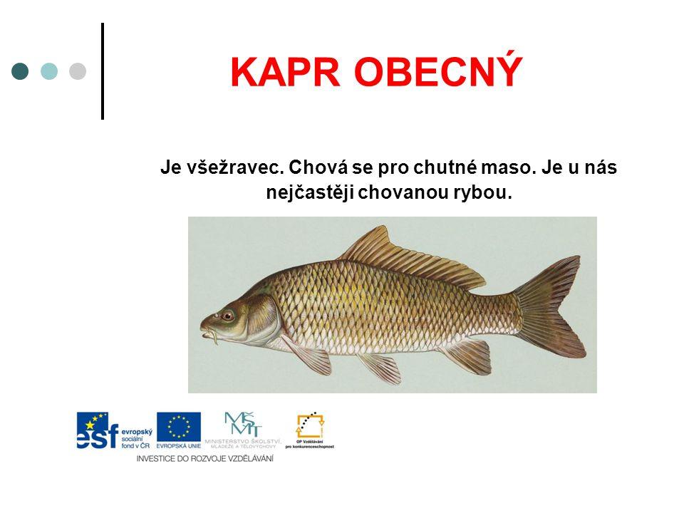 KAPR OBECNÝ Je všežravec. Chová se pro chutné maso. Je u nás nejčastěji chovanou rybou.