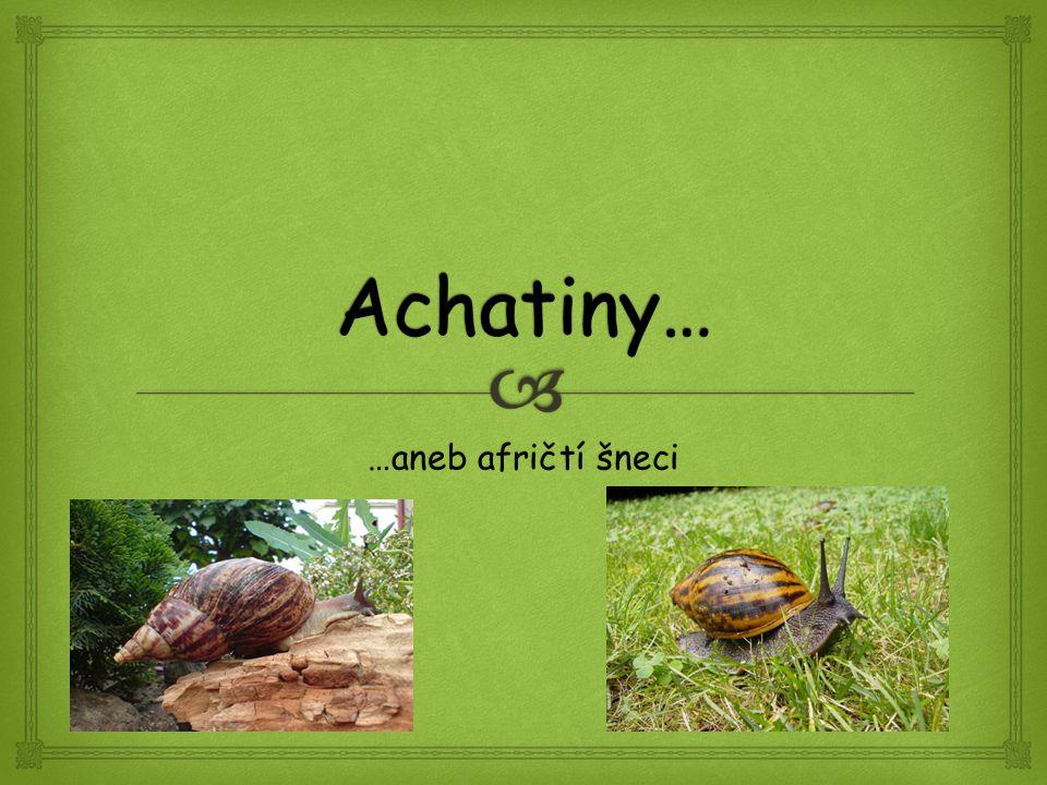   méně známý rod  zástupci : Archachatina papyracea Archachatina degneri Druhy rodu Archachatina