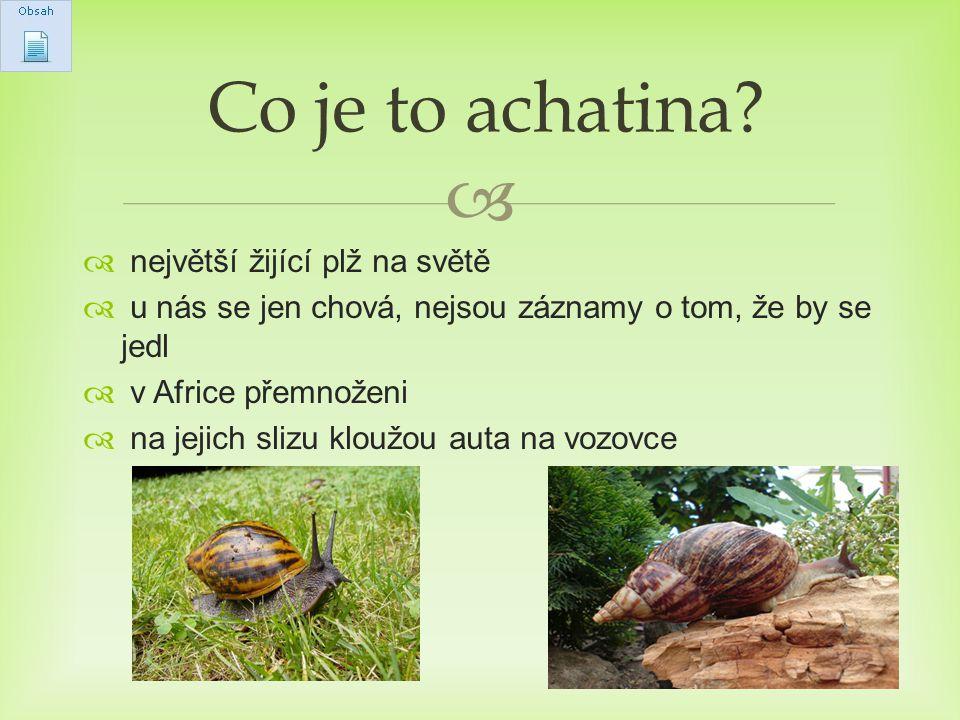  největší plž  velmi chutné maso  může dorůst délky až 27 cm  dožívá se 5-7 let  váží až 900g Achatina achatina (Oblovka velká)