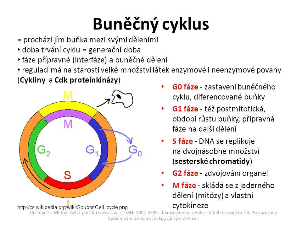Buněčný cyklus G0 fáze - zastavení buněčného cyklu, diferencované buňky G1 fáze - též postmitotická, období růstu buňky, přípravná fáze na další dělen