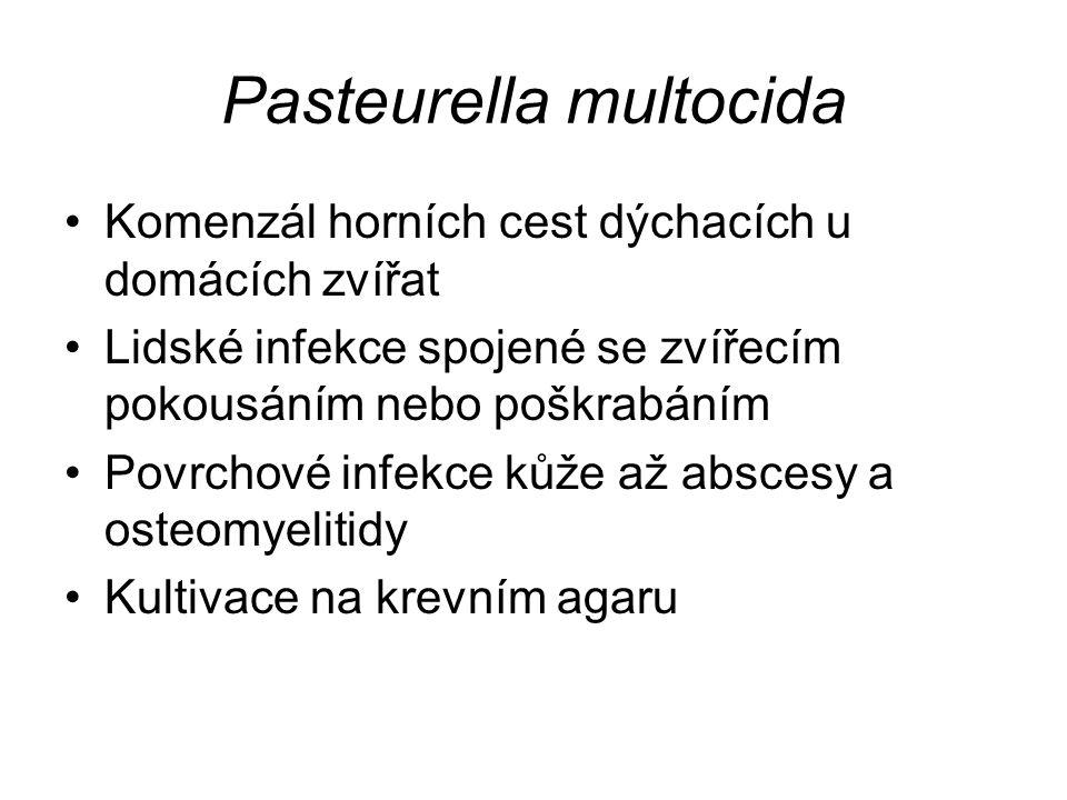 Pasteurella multocida Komenzál horních cest dýchacích u domácích zvířat Lidské infekce spojené se zvířecím pokousáním nebo poškrabáním Povrchové infekce kůže až abscesy a osteomyelitidy Kultivace na krevním agaru