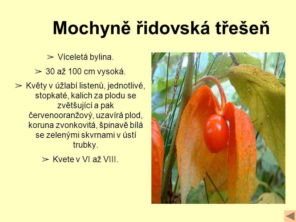 ➢ Víceletá bylina.➢ 30 až 100 cm vysoká.