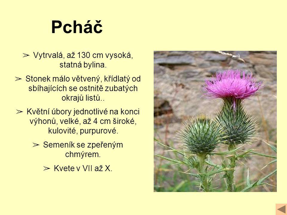 ➢ Vytrvalá, až 130 cm vysoká, statná bylina.