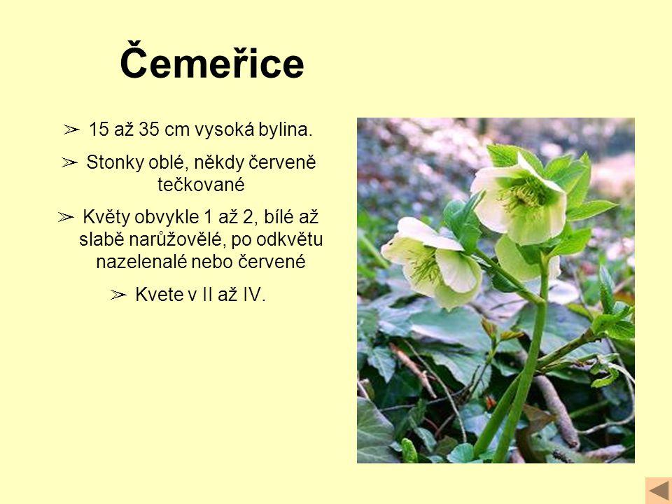➢ 15 až 35 cm vysoká bylina.
