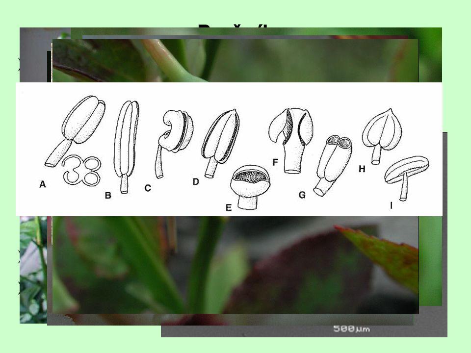  přívěsky  gynostegium, gynostemium Prašník  2 prašné váčky, 4 prašná pouzdra (=) mikrosynangium, mikrosporangium  synandrium  uvolňování pylovýc