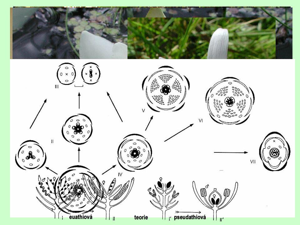  placentace *laminální (laminární) × marginální – parietální, axilární, centrální, bazální  původně zřejmě mnoho ve šroubovici Plodolisty (gyneceum, karpel)  srůst conduplikátní, involutní  typ *apokarpní (chori-) × cenokarpní - synkarpní, parakarpní, lysikarpní *nepravé cenokarpní gyneceum