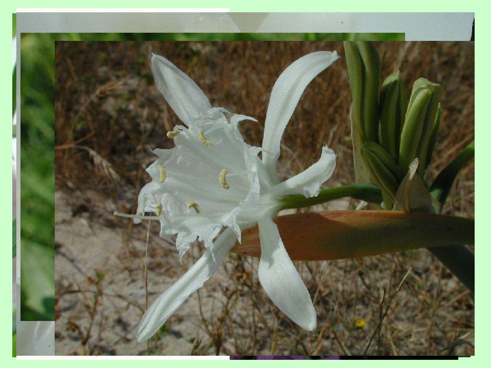 Diverzifikace květu v průběhu evoluce krytosemenných rostlin Typy evolučních novinek 1)využití existujících struktur k novým funkcím (staminodia) 2)přeorganizování orgánů (gynostemium, gynostegium) 3)ektopická exprese genů