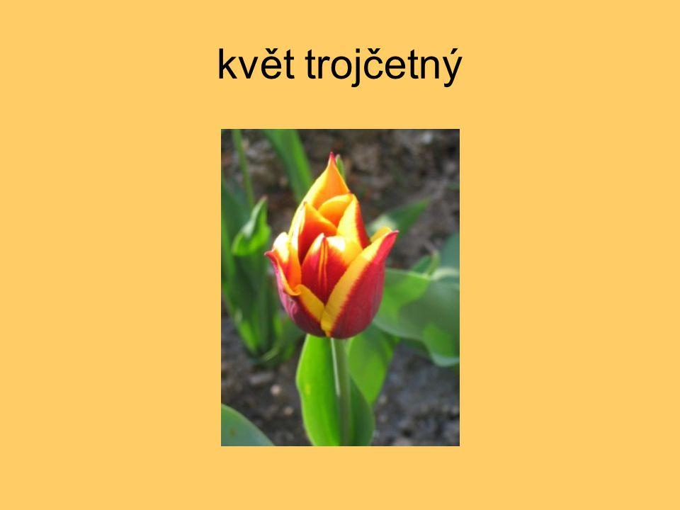 květ trojčetný