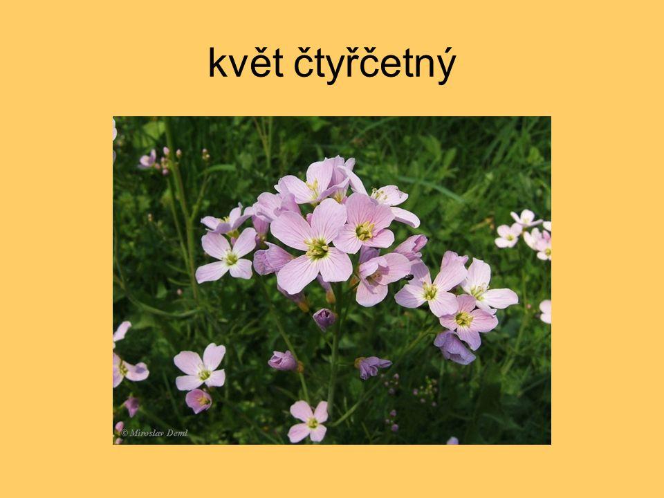 květ čtyřčetný
