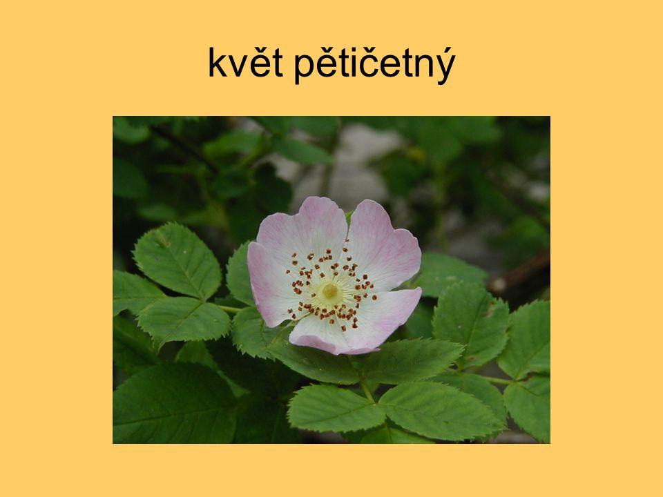 květ pětičetný