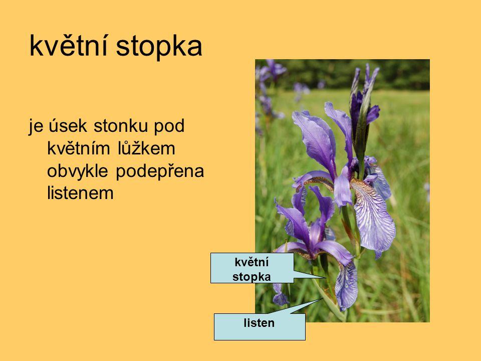 květní stopka je úsek stonku pod květním lůžkem obvykle podepřena listenem listen květní stopka