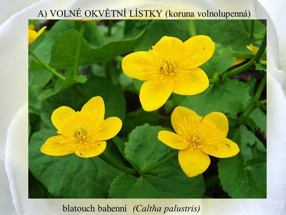 blatouch bahenní (Caltha palustris) A) VOLNÉ OKVĚTNÍ LÍSTKY (koruna volnolupenná)