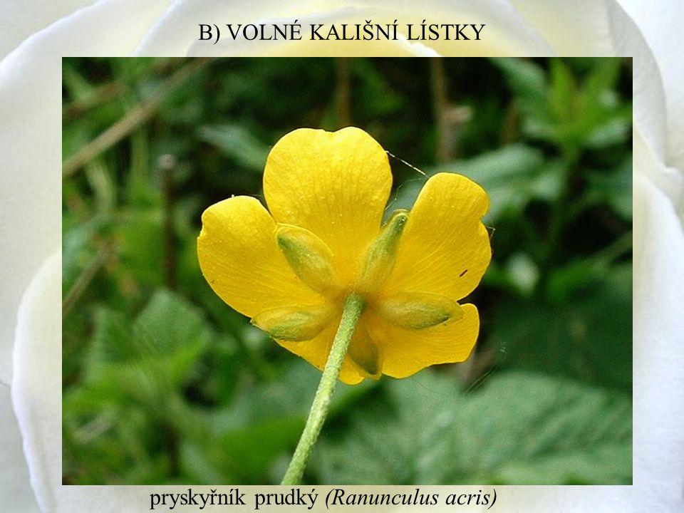 pryskyřník prudký (Ranunculus acris) B) VOLNÉ KALIŠNÍ LÍSTKY