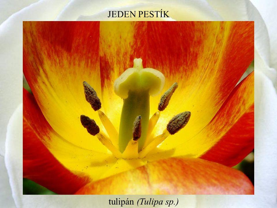 JEDEN PESTÍK tulipán (Tulipa sp.)