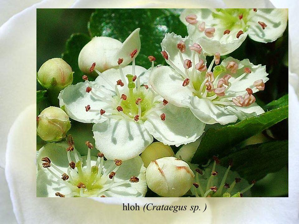 hloh (Crataegus sp. )
