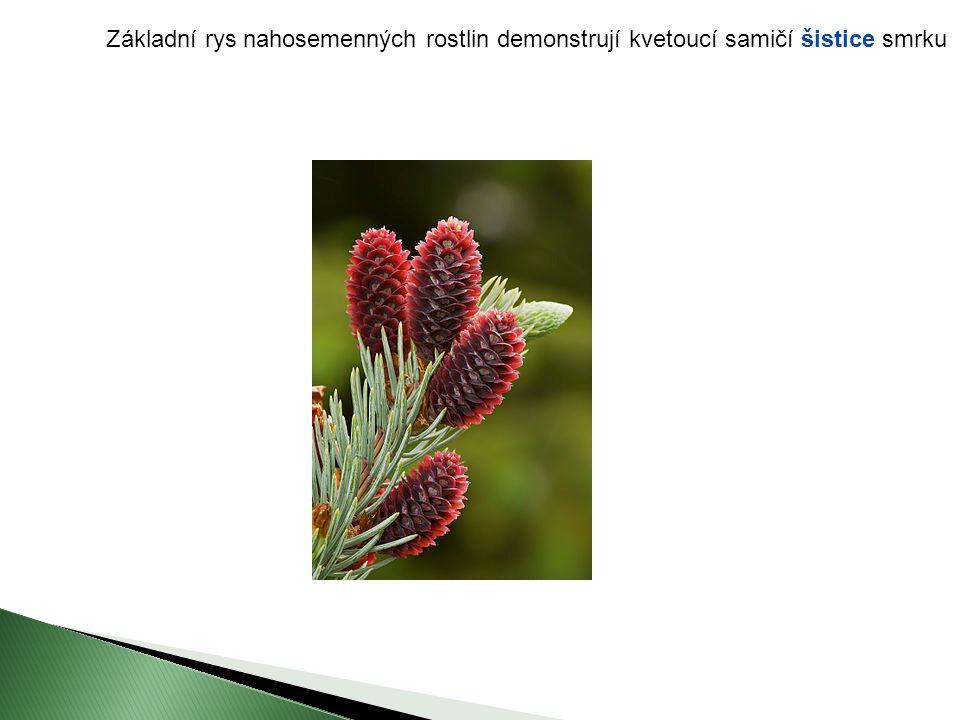 Základní rys nahosemenných rostlin demonstrují kvetoucí samičí šistice smrku