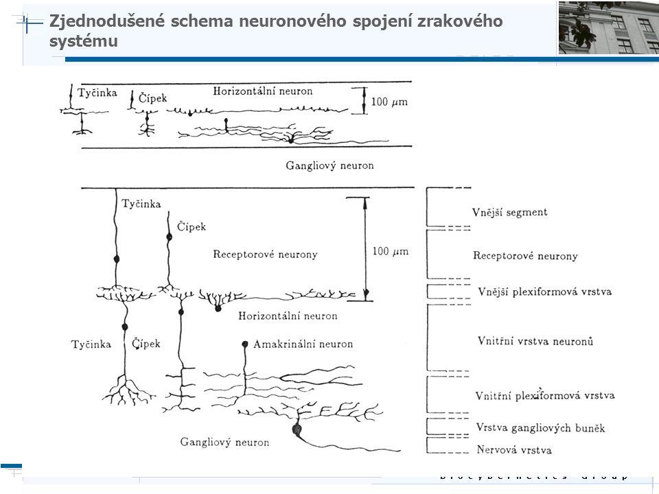 B i o c y b e r n e t i c s G r o u p Zjednodušené schema neuronového spojení zrakového systému