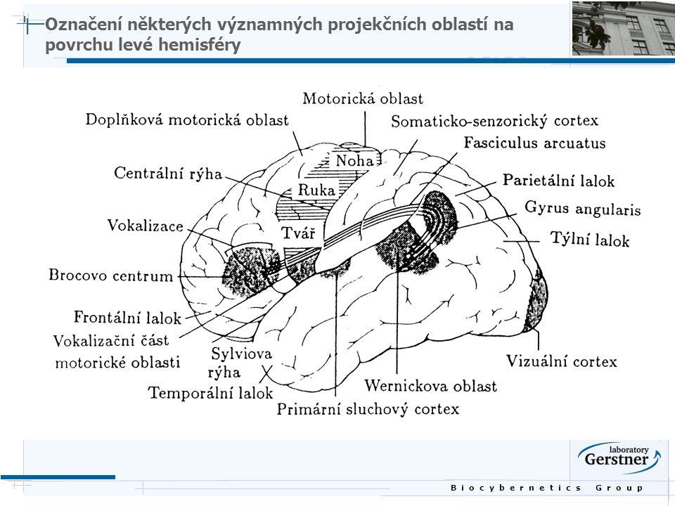 B i o c y b e r n e t i c s G r o u p Označení některých významných projekčních oblastí na povrchu levé hemisféry