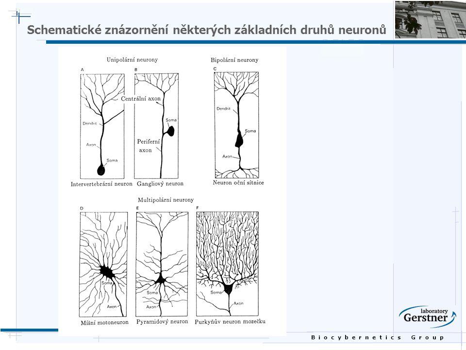 B i o c y b e r n e t i c s G r o u p Schematické znázornění některých základních druhů neuronů