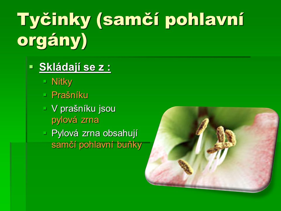 Tyčinky (samčí pohlavní orgány) SSSSkládají se z : NNNNitky PPPPrašníku VVVV prašníku jsou pylová zrna PPPPylová zrna obsahují samčí pohlavní buňky
