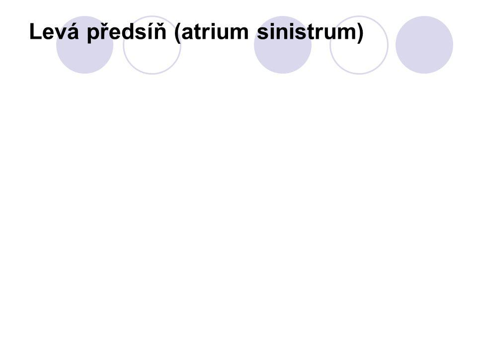 Levá předsíň (atrium sinistrum)