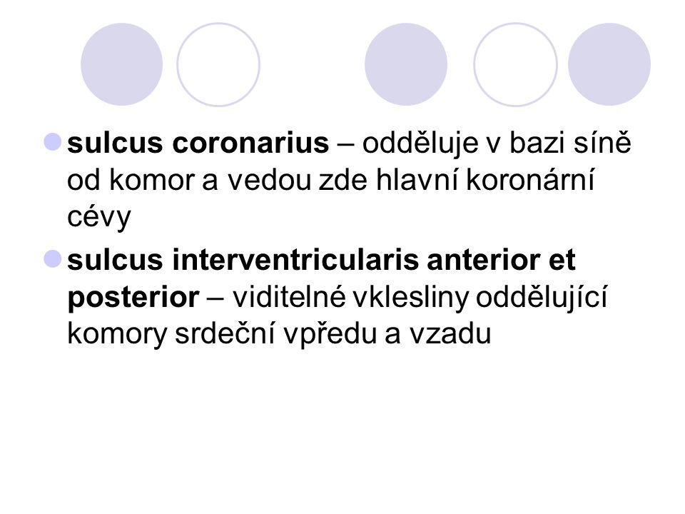 sulcus coronarius – odděluje v bazi síně od komor a vedou zde hlavní koronární cévy sulcus interventricularis anterior et posterior – viditelné vklesl