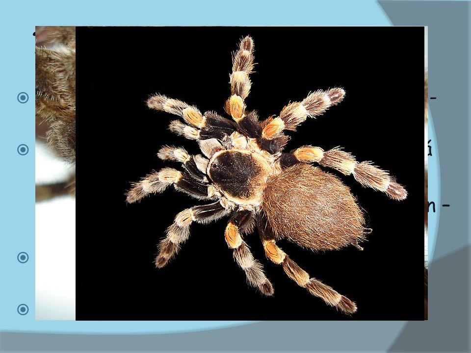  řád PAVOUCI  žijí po celém světě  pavouci mají mimotělní trávení  snovají pavučiny – SNOVACÍ BRADAVKY, - SN2SNOVACÍ BRADAVKYSN2  NS – žebříčkovitá - 8 jednoduchých očekoček - po celém těle receptory – otřesy  CS – trubicovité srdce, otevřená cs  DS – plicní vaky  VS – malpigiho trubice