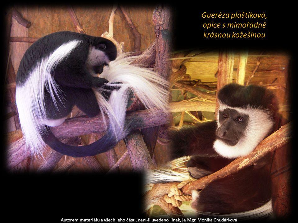 Autorem materiálu a všech jeho částí, není-li uvedeno jinak, je Mgr. Monika Chudárková Gueréza pláštíková, opice s mimořádně krásnou kožešinou