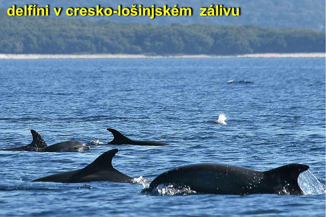 delfíni v cresko-lošinjském zálivu
