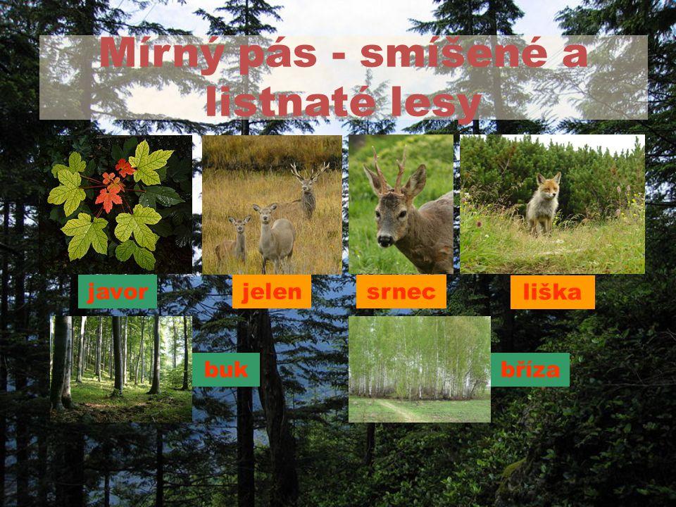 Mírný pás - smíšené a listnaté lesy srnec bukbříza javor liška jelen