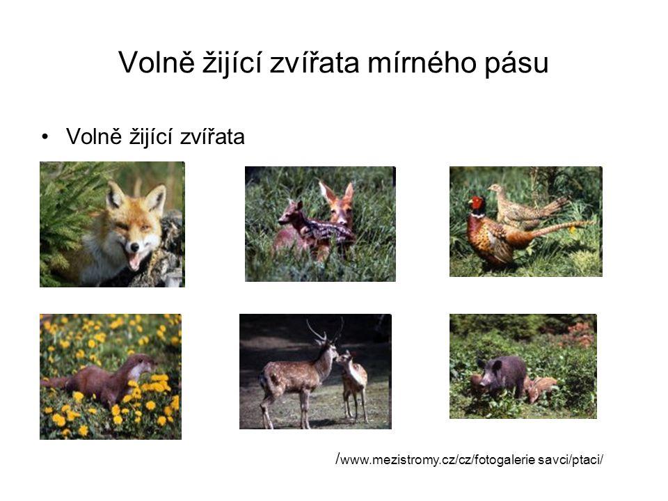 Volně žijící zvířata mírného pásu Volně žijící zvířata / www.mezistromy.cz/cz/fotogalerie savci/ptaci/