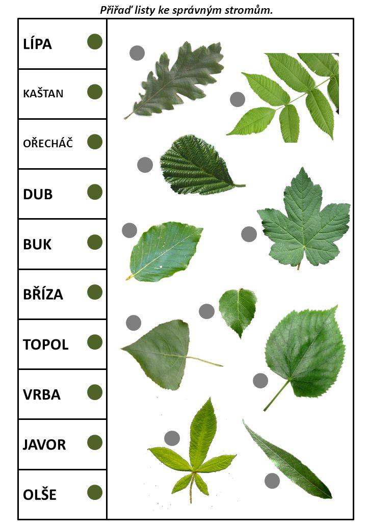 LÍPA KAŠTAN OŘECHÁČ DUB BUK BŘÍZA TOPOL VRBA JAVOR OLŠE Přiřaď listy ke správným stromům.