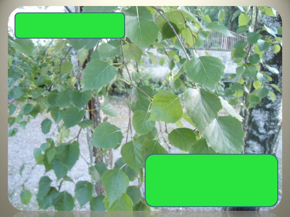  bílošedá kůra  převislé větve  skoro trojúhelníkovité listy Bříza bělokorá
