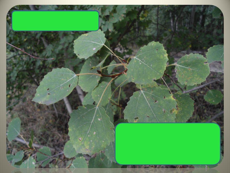 okrouhlé listy dlouhé řapíky – neustále se třese Topol osika