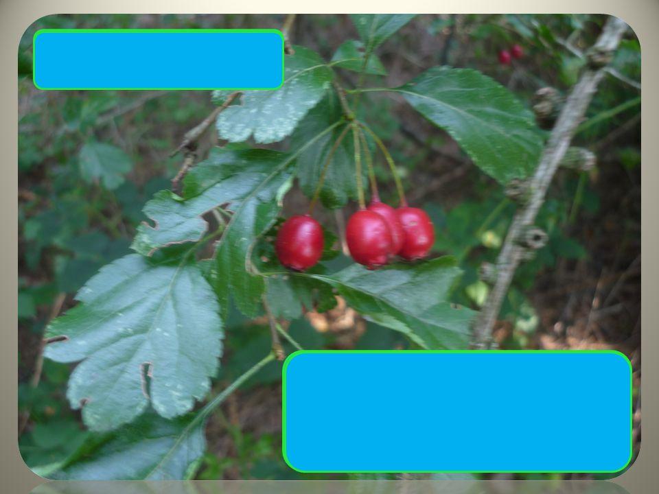  Trny až 1 cm  Typický tvar drobných listů  Červené plody Hloh obecný