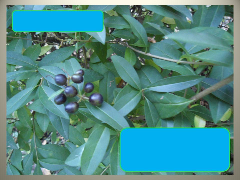  tmavě zelené lesklé lístky  modré bobule ve skupinkách Ptačí zob obecný