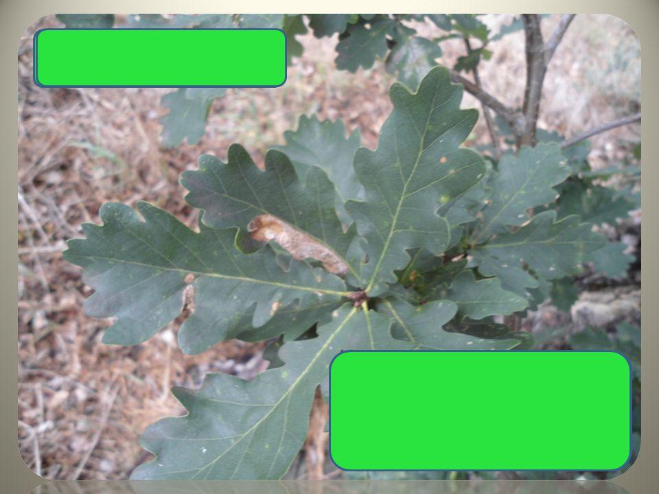 laločnaté listy žaludy Dub letní