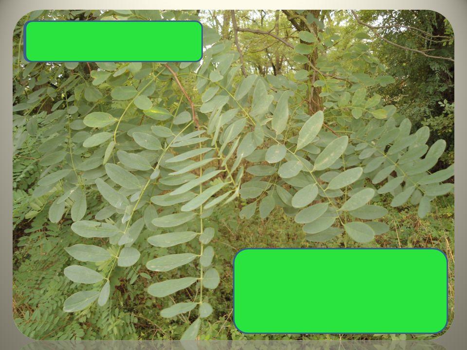  listy složené z oválných lístků  bílé hroznovité květy  plody lusky Trnovník akát