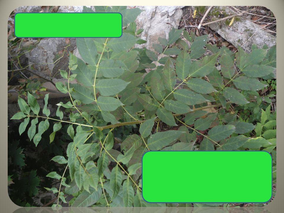  složené listy  plod s 1 křidélkem, v trsech Jasan ztepilý