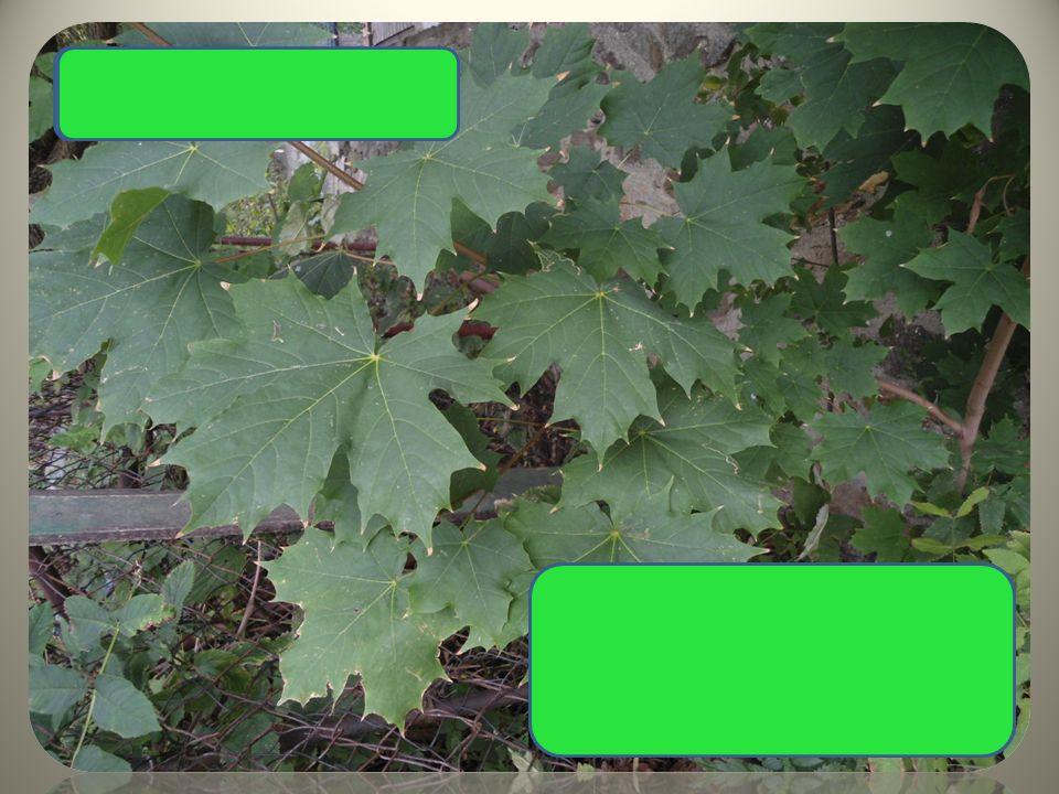 """ typický tvar listů  ostře špičaté listy  plody s dvěma křidélky, """"nosánky"""" Javor mléč"""