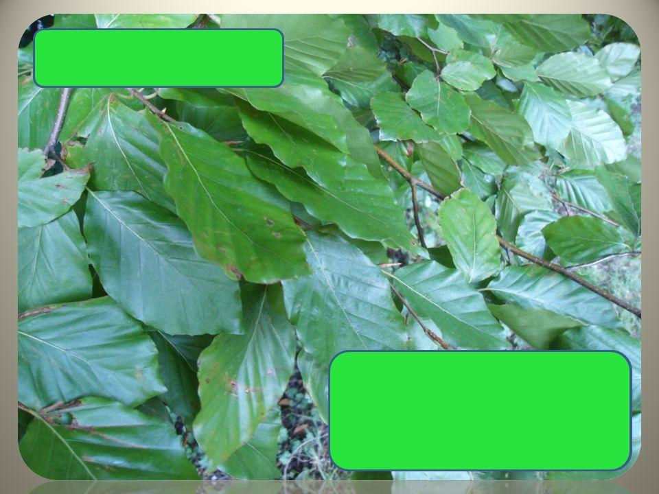  hladká kůra  celokrajný hladký list  bukvice Buk lesní
